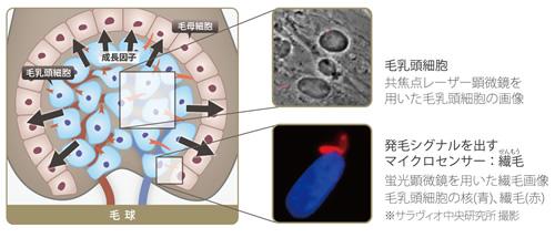 毛乳頭細胞と繊毛